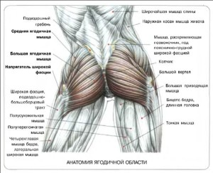 Stroenie-jagodichnyh-myshc-kakie-byvajut-myshcy-i-dlja-chego- Строение-ягодичных-мышц-какие-бывают-мышцы-и-для-чего. Анатомия ягодичных мышц